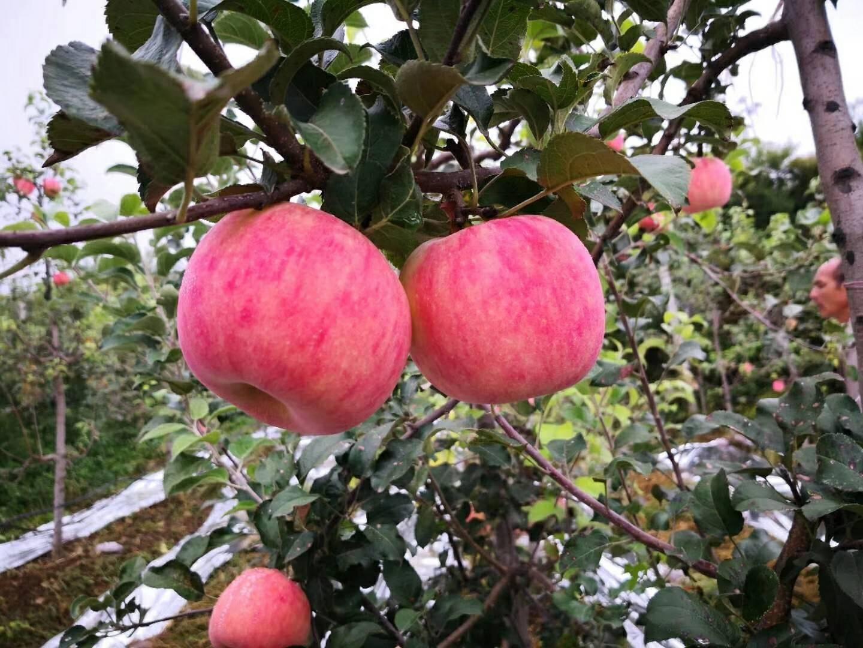 富民县打造水果苹果产业发展新格局