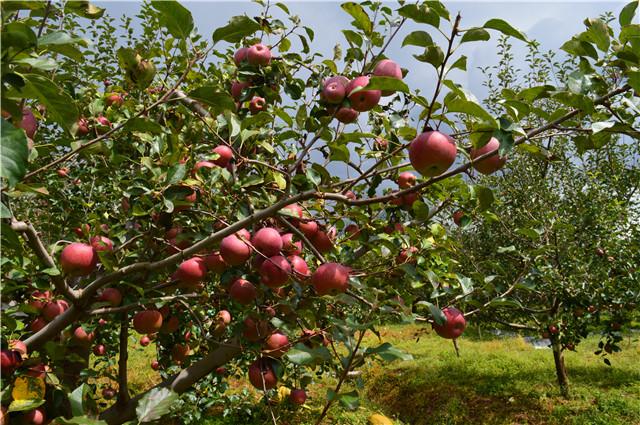 苹果树大小年的原因