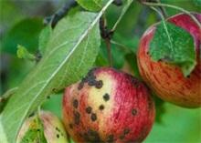 苹果黑星病防治