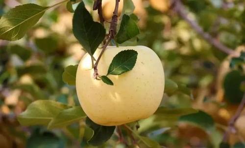 套袋苹果发黄不上色的原因
