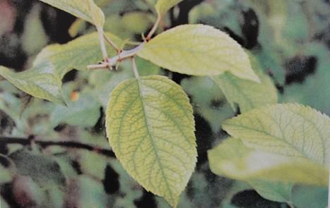 苹果树缺铁性黄化病