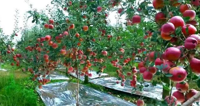 凯发体育官方体育版苹果多少钱一斤(如何联系凯发体育官方体育版苹果)
